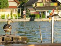 有鸭子的渔码头 免版税库存图片