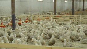 有鸭子的畜栏在家禽场 股票录像