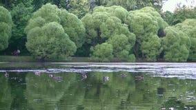 有鸭子的美丽的池塘在城市公园全景4K 影视素材