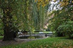 有鸭子的被遮蔽的池塘和鱼鲤鱼在秋天停放 库存照片