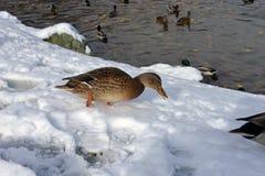 有鸭子的Winter湖 库存图片