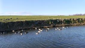 有鹅的宽银幕河对此 库存照片