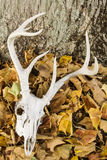 有鹿角的鹿头骨 库存图片