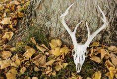 有鹿角的鹿头骨 图库摄影