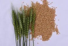 有麦子五谷的,成长的概念绿色麦子耳朵 图库摄影