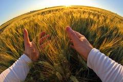 有麦子的小尖峰的手反对落日的 库存照片