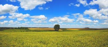 有麦田和偏僻的生长树的晴朗的夏天全景在与明亮的白色云彩的背景天空蔚蓝 免版税图库摄影