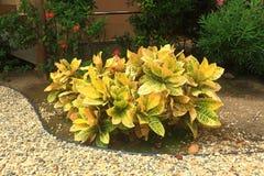 有黄色叶子和一些绿色植物的好的植物在它后在大厦墙壁附近 美好的横向本质 阿鲁巴海岛 免版税库存照片