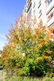 有黄色叶子的布什在一个多层的大厦的背景 免版税库存图片