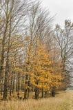 有黄色叶子的11月森林 免版税库存照片