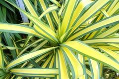 有黄色和绿色的花长的叶子,龙血树属植物的女王/王后 图库摄影