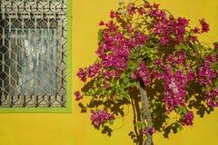 有黄色墙壁的美丽的九重葛花开花作为backg 图库摄影
