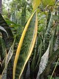 有黄色小条的叶子 自然背景墙纸, 图库摄影