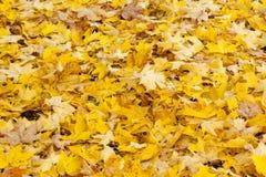 有黄色槭树叶子的美丽的秋天公园 库存图片