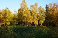 有黄色秋天叶子的桦树森林 前景高绿色g 图库摄影