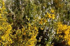有黄色花和刺的灌木植物叫阿利亚加,在拉丁的染料木属scorpius,在有些灌木前面叫迷迭香与 库存照片