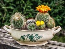 有黄色花的仙人掌罐 免版税图库摄影
