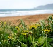 有黄色花的庭院在海滩 库存图片
