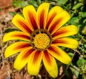 有黄色花的庭院 库存图片