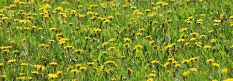 有黄色花的春天草甸-蒲公英蒲公英 位于在草内 多朵和唯一花 免版税库存图片