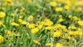 有黄色花的春天草甸-蒲公英蒲公英 位于在草内 多朵和唯一花 库存照片