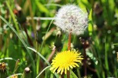 有黄色花的春天草甸-蒲公英蒲公英 位于在草内 多朵和唯一花 图库摄影