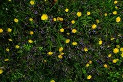 有黄色花的春天草甸-蒲公英 位于在草内 多朵和唯一花 19 免版税图库摄影