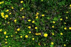 有黄色花的春天草甸-蒲公英 位于在草内 多朵和唯一花 18 免版税库存图片