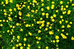 有黄色花的春天草甸-蒲公英 位于在草内 多朵和唯一花 16 免版税库存照片