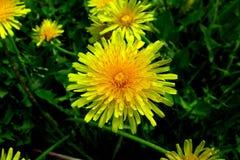 有黄色花的春天草甸-蒲公英 位于在草内 多朵和唯一花 15 免版税库存图片