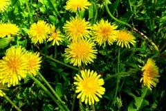 有黄色花的春天草甸-蒲公英 位于在草内 多朵和唯一花 14 免版税图库摄影