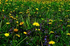 有黄色花的春天草甸-蒲公英 位于在草内 多朵和唯一花 13 库存照片