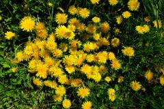 有黄色花的春天草甸-蒲公英 位于在草内 多朵和唯一花 12 库存照片