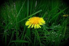 有黄色花的春天草甸-蒲公英 位于在草内 多朵和唯一花 10 免版税库存图片
