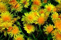 有黄色花的春天草甸-蒲公英 位于在草内 多朵和唯一花 9 库存照片
