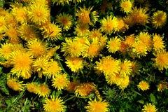 有黄色花的春天草甸-蒲公英 位于在草内 多朵和唯一花 8 库存图片