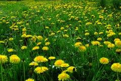 有黄色花的春天草甸-蒲公英 位于在草内 多朵和唯一花 免版税库存图片
