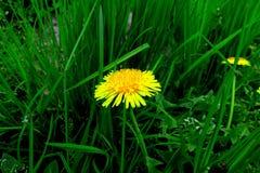 有黄色花的春天草甸-蒲公英 位于在草内 多朵和唯一花 2 库存照片