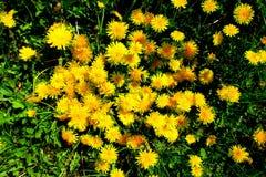 有黄色花的春天草甸-蒲公英 位于在草内 多朵和唯一花 3 免版税库存图片