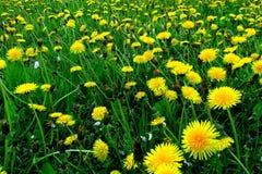 有黄色花的春天草甸-蒲公英 位于在草内 多朵和唯一花 4 图库摄影