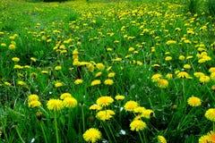 有黄色花的春天草甸-蒲公英 位于在草内 多朵和唯一花 5 库存图片