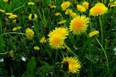 有黄色花的春天草甸-蒲公英 位于在草内 多朵和唯一花 6 免版税库存图片