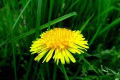 有黄色花的春天草甸-蒲公英 位于在草内 多朵和唯一花 7 库存图片