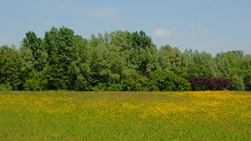 有黄色野花的草甸和森林在富兰德 库存图片