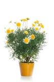 有黄色雏菊花的罐 库存图片