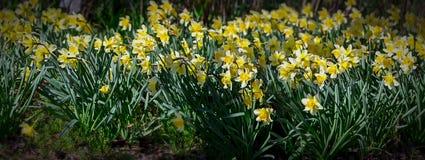 有黄色黄水仙的沼地 背景 免版税库存照片