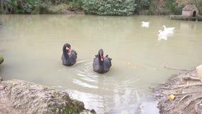 有黑天鹅和鹅的一个人为池塘,与水的一个房子 r 影视素材