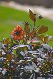有黑褐色叶子的植物和燎桔子开花 免版税图库摄影
