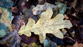 有水下落的干燥秋天橡木叶子 图库摄影
