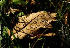 有水下落的干燥秋天橡木叶子 库存照片